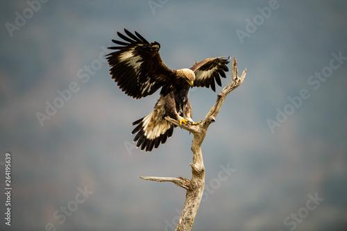 Poster Aigle Goldean Eagle (Aquila chrysaetos) at mountain meadow in Eastern Rhodopes, Bulgaria