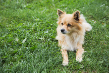 Closeup Portrait Of Cute Fluffy Cross Breed Small Dog Laying Outside On Green Grass. Horizontal Color Photography.