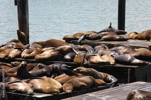 Keuken foto achterwand San Francisco Sea Lions on the Pier 39 at Fisherman's Wharf, San Francisco