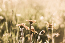 Beautiful Yellow Wild Flowers Growing Outdoors At Sunny Summer Morning Field At Countryside. Image Filtered In Vintage Retro Style.