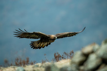 Goldean Eagle (Aquila Chrysaet...