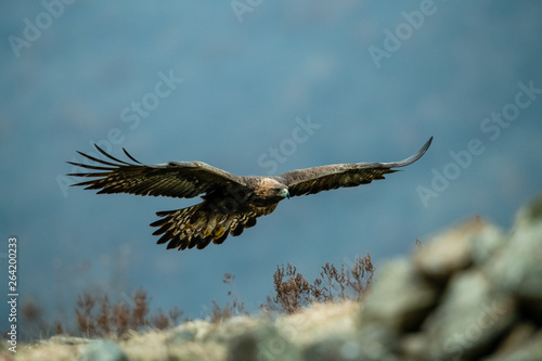 Goldean Eagle (Aquila chrysaetos) at mountain meadow in Eastern Rhodopes, Bulgar Fototapete