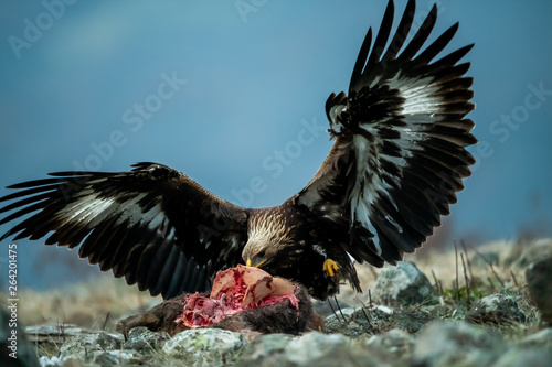 Fotobehang Eagle Juvenile Goldean Eagle (Aquila chrysaetos) on prey at mountain meadow in Eastern Rhodopes, Bulgaria