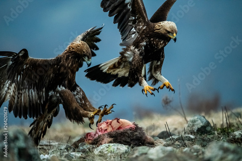 Fotografie, Obraz  Adult and juvenile Golden Eagle (Aquila chrysaetos) on prey at mountain meadow i