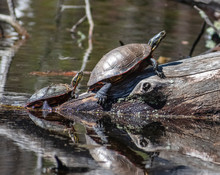 Turtles Basking In The Sun On A Log