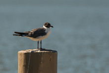 A Laughing Gull Perched On A M...