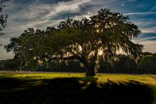 A Beautiful Oak Tree And Spanish Moss Landscape