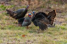 Wild Turkey And Decoy In South Carolina