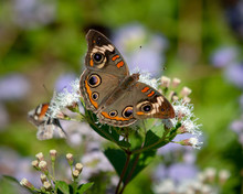 Close-up Of Buckeye Butterfly On White Flowers