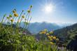 Trollblumen und Flockenblumen am Herzogstand Wanderweg in den Bayerischen Alpen