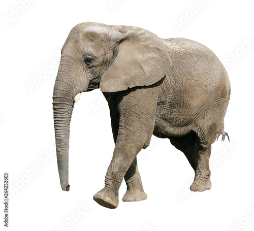 Fotobehang Olifant elephant with clipping path