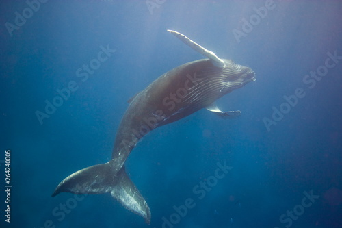 Fotografía Humpback whale spinning underwater in the Caribbean