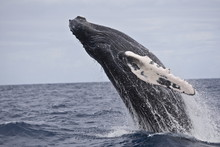 Humpback Whale Breaching In Th...