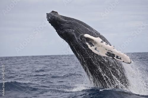 Cuadros en Lienzo Humpback whale breaching in the Caribbean