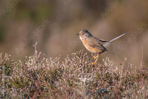 Dartford Warbler UK Wild Rare Fototapete