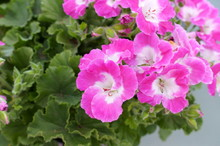 Pelargonium Geranium Pink Flower Green Plant