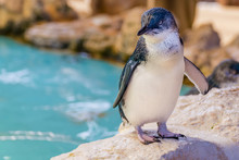 Beautiful Australian Penguin S...