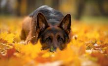 Dog Breed German Shepherd Autu...