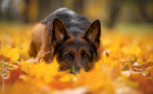 Obraz na plátně Dog breed German shepherd autumn lies in maple yellow leaves