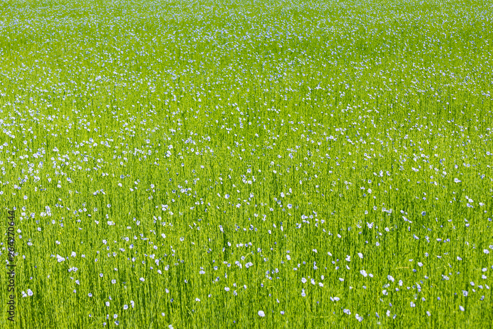 Fototapety, obrazy: Large field of flax in bloom in spring
