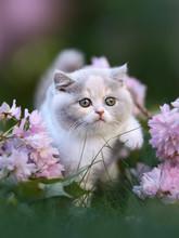Kitten Mit Rosa Blüten - Britisch Kurzhaar Katze