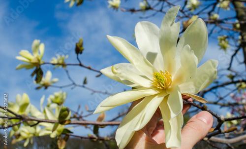 Fotografia Blooming yellow magnolia Daphne