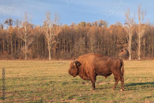 Fényképezés  european bison, Romania