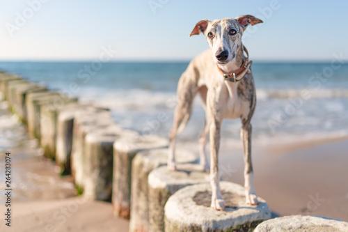 hübsche, neugierige Whippet Hündin / Windhund  am Strand Fototapeta