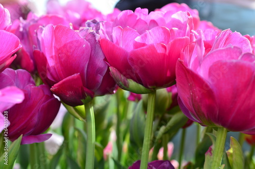 Aluminium Prints Pink Pink Tulips at Wooden Shoe Tulip Festival in Woodburn Oregon