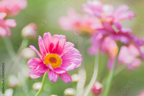 Pink Marguerite Daisy in th...