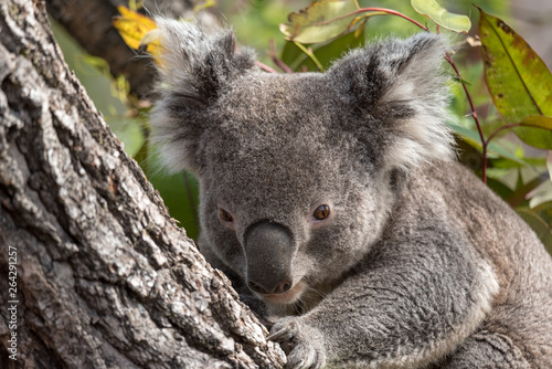 Garden Poster Koala koala claiming a tree