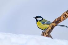 Cute Bird. White Winter Background. Bird: Great Tit. Parus Major