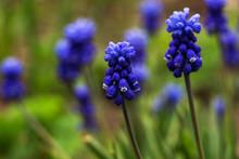 Muscari - Blue Grape Hyacinth....