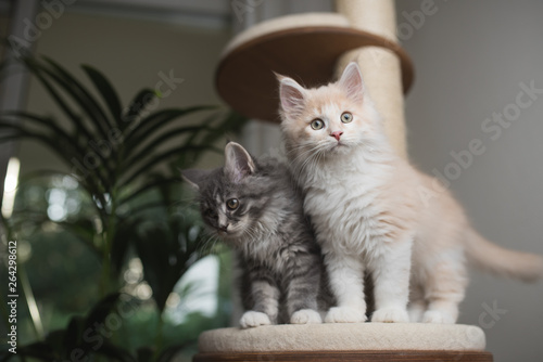 Poster Kat two maine coon kittens standing on a scratching post platform looking curiously in different directions
