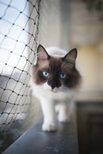 Ragdoll Cat Balancing On Balcony Window Sill Next To Cat Safety Net