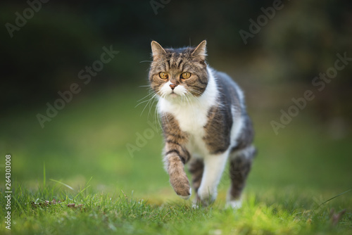 Fotografiet  portrait of a tabby british shorthair cat jumping over the lawn in the back yard