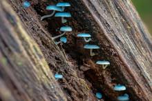 Blue Mushroom Mycena Interrupt...