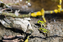 Two Frogs (Pelophylax Lessonae...