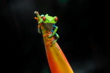 Red Eyed Tree Frog In Costa Rica Rainforest