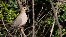 Mourning Dove Perched On Branch