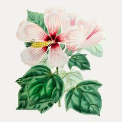Panel Szklany Egzotyczne Hibiscus moscheutos
