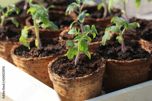 Young tomato seedling sprouts in the peat pots. Gardening concept.