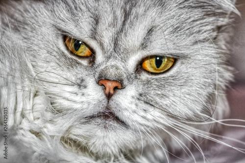 Dieses Einzigartige Bild Zeigt Eine Chinchilla Perserkatze Namens Lucy Sie Konnen Ihre Schonen Augen Deutlich Sehen Kaufen Sie Dieses Foto Und Finden Sie Ahnliche Bilder Auf Adobe Stock Adobe Stock