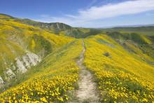Hillside Daisy Blooming In Temblor Range,  Carrizo Plain National Monument, CA