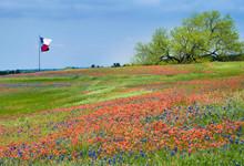 Blooming Field Of Texas Bluebo...