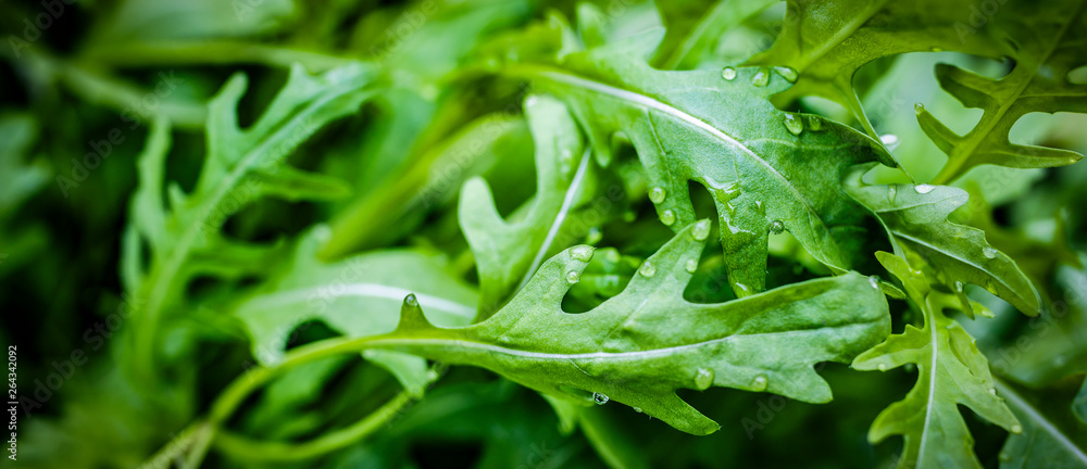 Fototapety, obrazy: fesh roquette/rucola/wild rocket / (type of lettuce) in a glasshouse