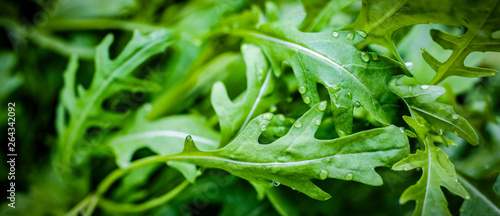 Obraz fesh roquette/rucola/wild rocket / (type of lettuce) in a glasshouse - fototapety do salonu