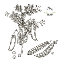 Pea Plant Isolated On White Background. Hand Drawn Legumes. Vector Illustration Engraved.