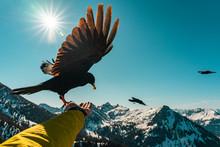 Berg-Dohlen Fütterung Aus Der Hand - Allgäuer Alpen - Tannheimer Tal