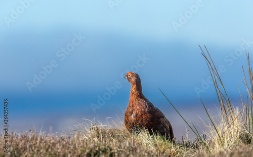 Obraz na plátne Red Grouse male (Lagopus lagopus) in early Spring on Grouse moor